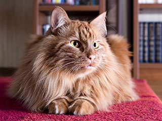 Pet Hair Removal | Malibu Carpet Cleaning